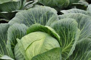 ТОП-5 порад із вирощування капусти
