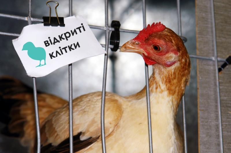Утримання курей-несучок в Україні