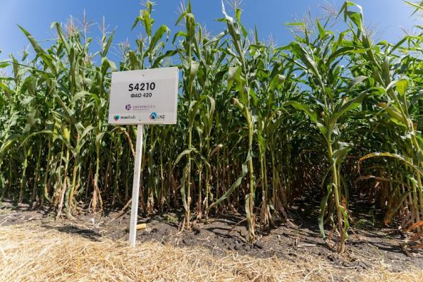 Кукурудза на силос від А до Я: усе про гібриди та технологію фото 8 LNZ Group