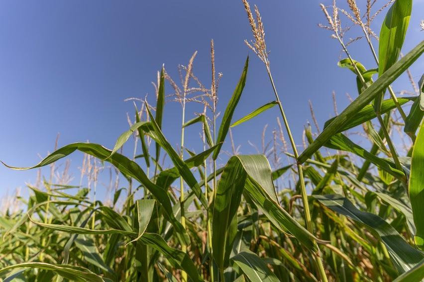 Кукурудза на силос від А до Я: усе про гібриди та технологію фото 7 LNZ Group