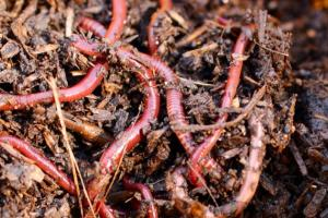 Каліфорнійські черв`яки переробляють відходи на добрива