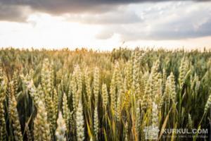 Поле пшениці