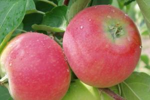 Яблука сорту «Ерлі Женева»