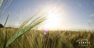 В США розпочався збір урожаю пшениці