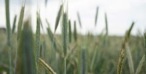 Через глобальне потепління світовий врожай основних сільгоспкультур скоротиться втричі