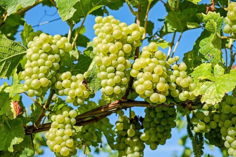 Нові сорти придатні для виробництва високоякісного вина