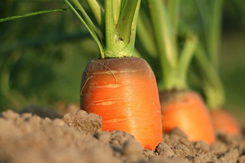 Україна імпортує моркву через нестачу вітчизняної