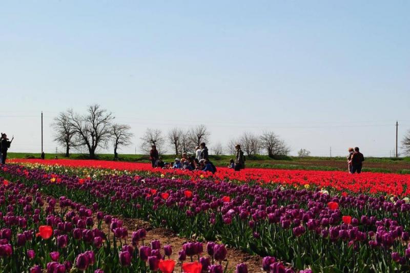 На Херсонщині на 2 гектарах розцвіло 200 тисяч тюльпанів