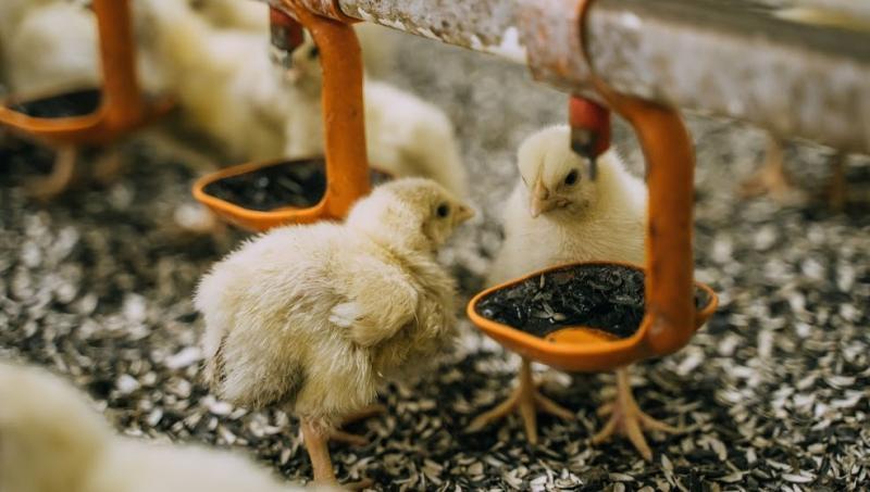 На Вінниччині зареєстрували випадок пташиного грипу