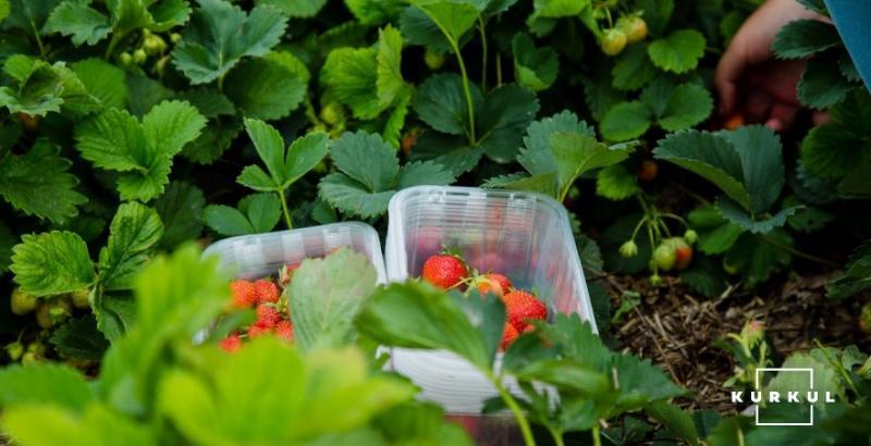 У Латвії гниє урожай полуниці через відсутність заробітчан
