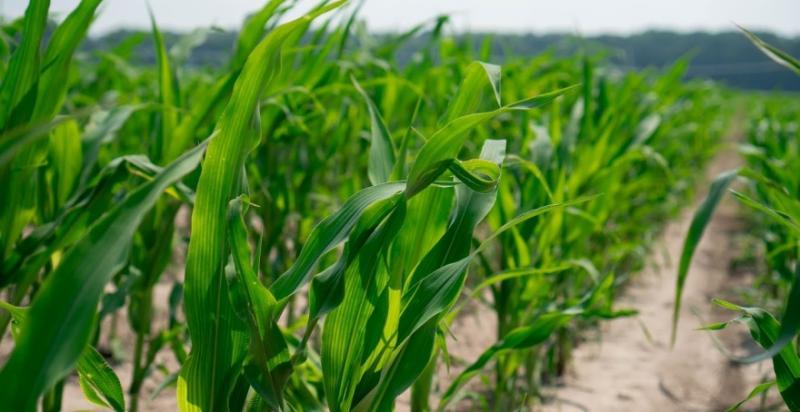 Аграріям представлять 48 варіантів дослідів по різним системах посіву кукурудзи