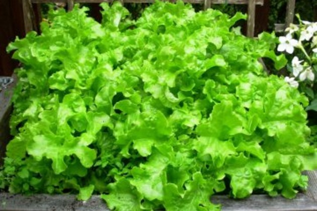 Выращивание салатов и их сорта 669