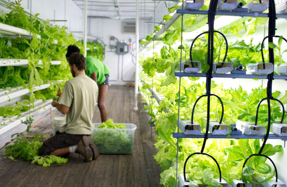 Выращивание зелени на продажу в домашних условиях как 72