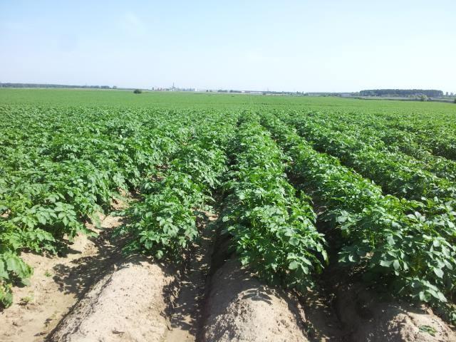 Картопляне поле ФГ «Журавушка». фото: Аgrischool.com