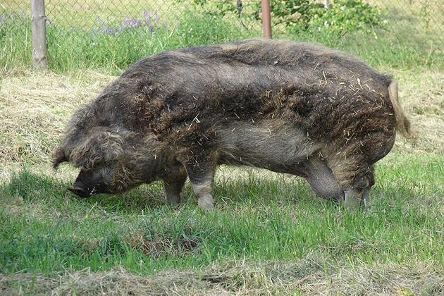 Дуже приваблива свиня — Мангалиця
