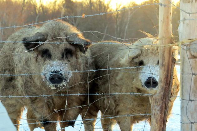 Зимівля свиней