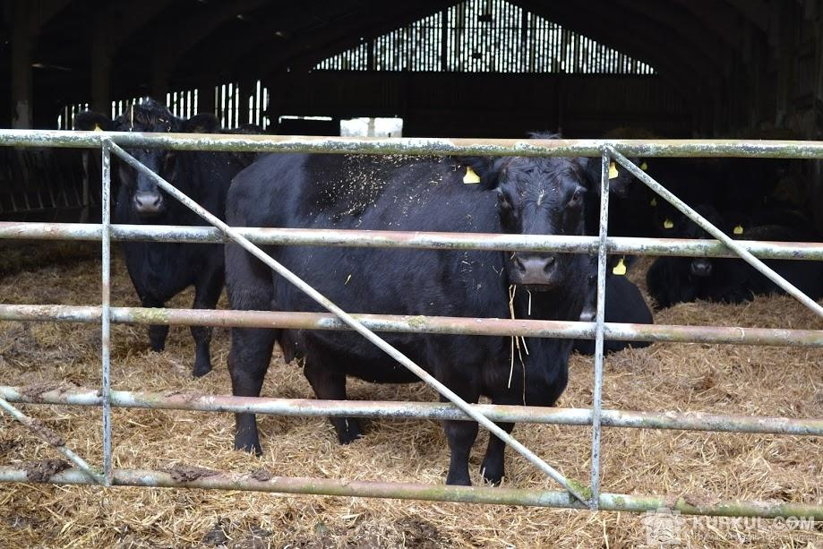 Корови породи Блек Ангус у Glebe Farm (Великобританія)