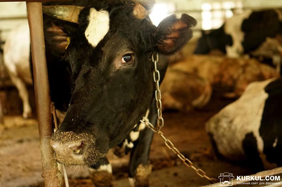 Корова чорно-рябої породи