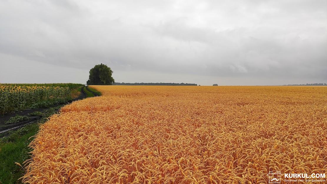 Поле пшениці у ТОВ СП «Мелихівське»