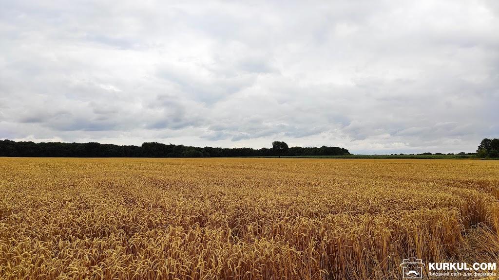 Пшеничне поле «Маки» імені О. П. Сем'янівського