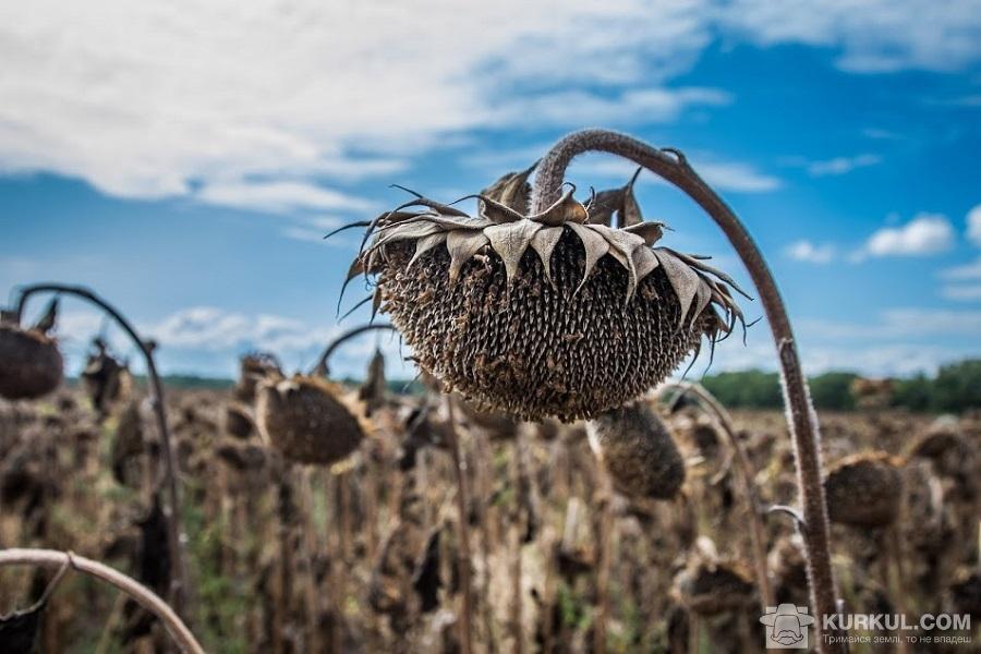 Соняшник перед збором урожаю