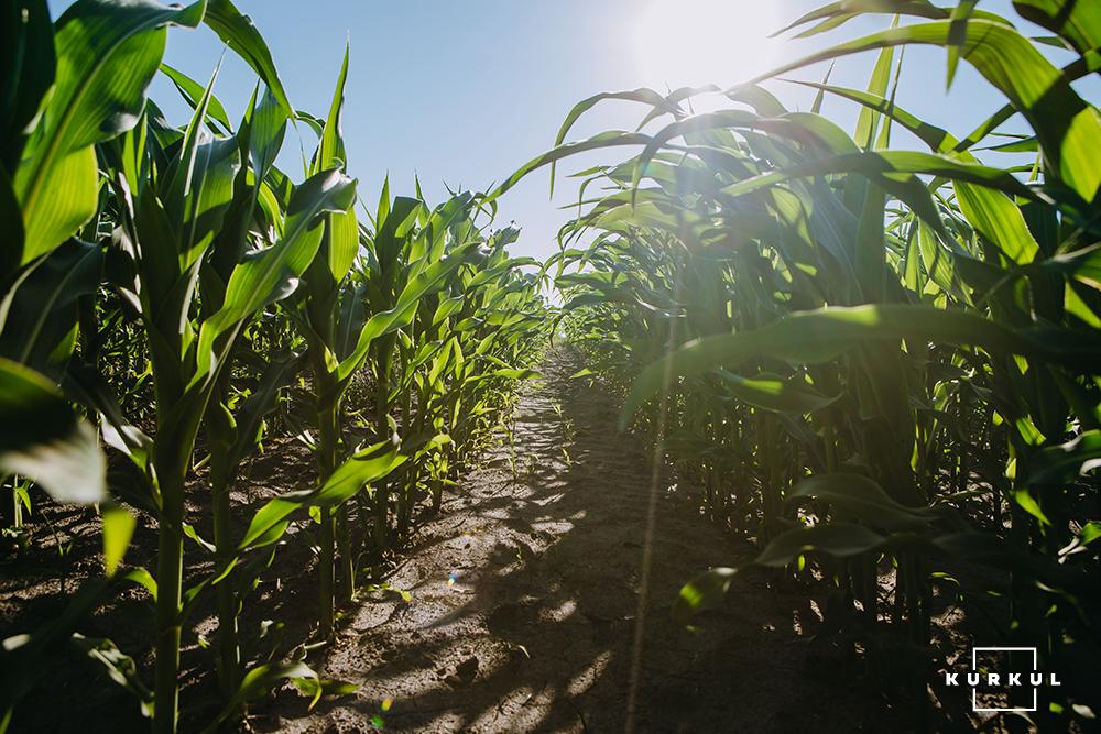Кукурудза у полі агрофірми «Вітчизна»