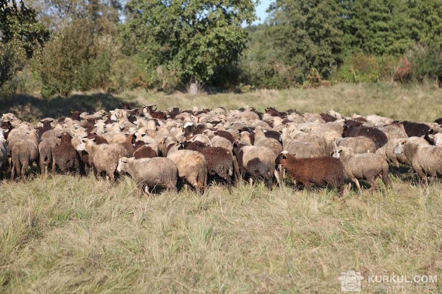 Вівці на пасовищі