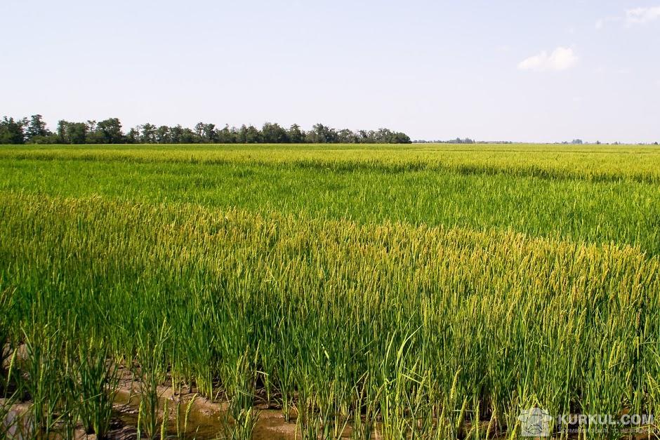 Поле рису