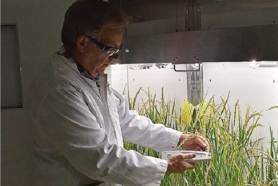 Професор Роберт Фурбанк оглядає прототипи рослин рису в Центрі Австралійських досліджень для трансляційного фотосинтезу