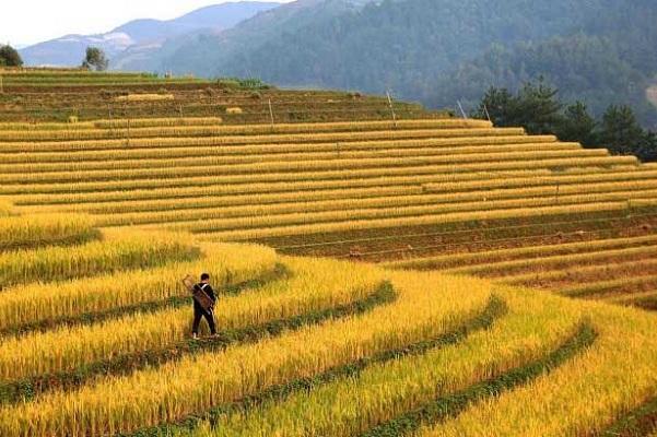 Рисові поля у В'єтнамі