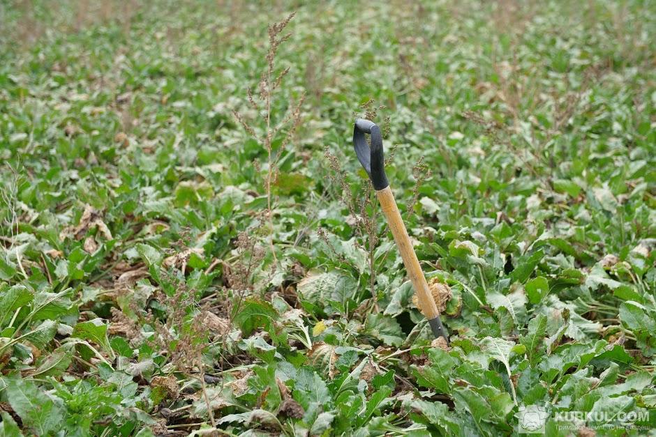 Посіви цукрового буряку