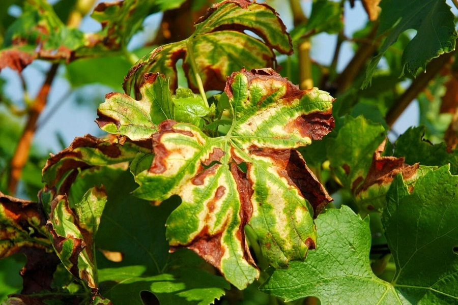 Листя винограду, уражені апоплексією (ескою)