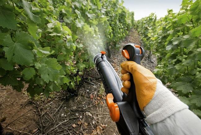 Обробка винограду фунгіцидом