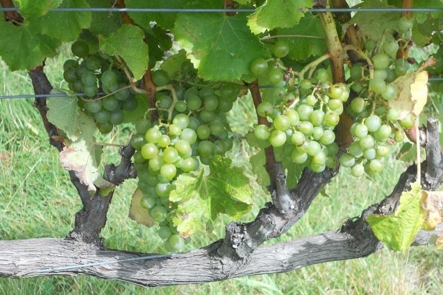 Лоза винограду