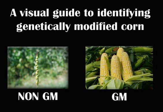 Візуальний визначник генетично модифікованої кукурудзи: не ГМ ГМ
