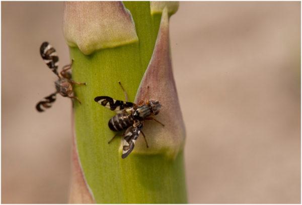Спаржева муха