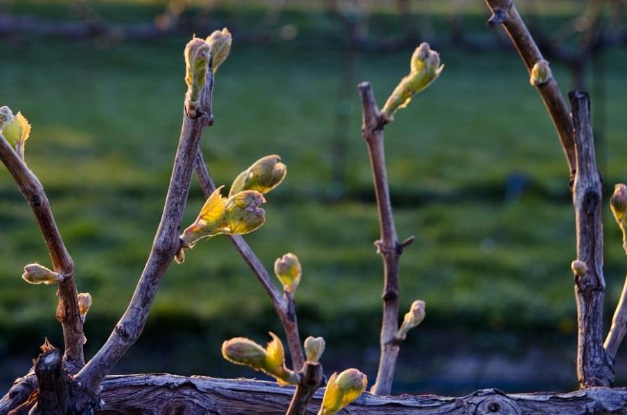 Початок вегетації винограду