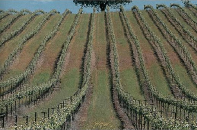 Виноград, висаджений з міжряддям 2 м