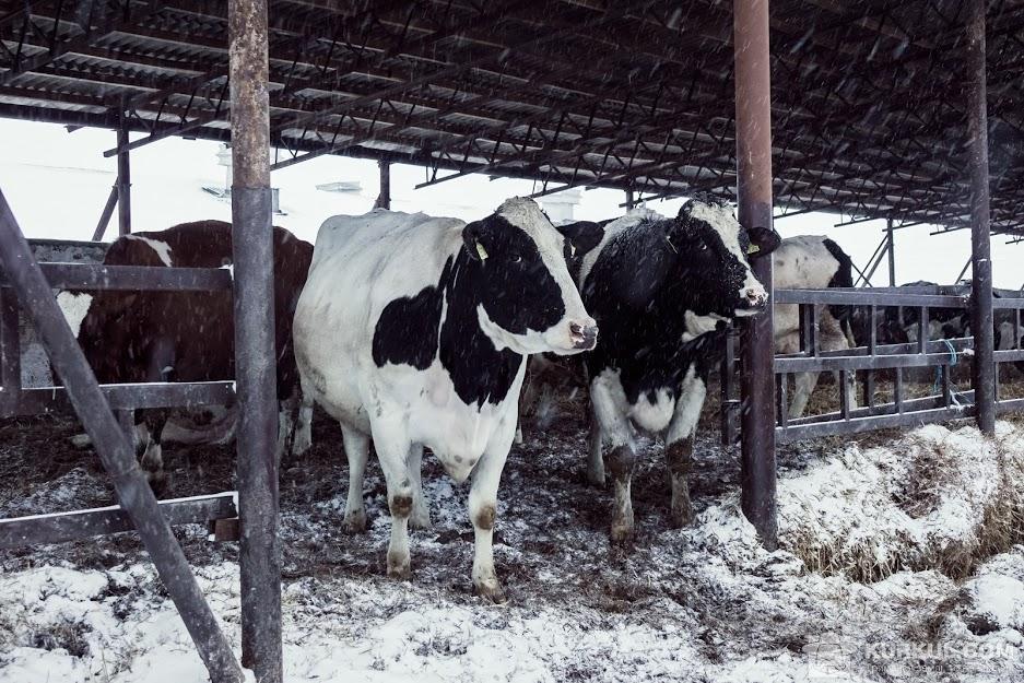 Молочна ферма СГК імені Щорса