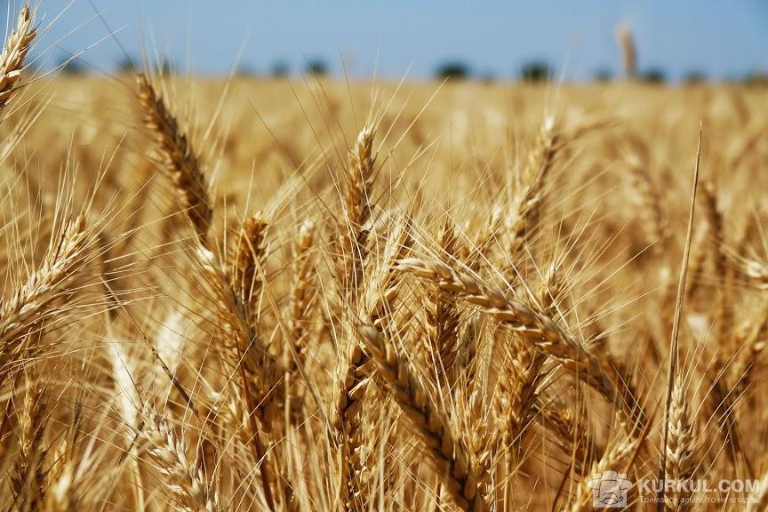 Поcіви озимої пшениці
