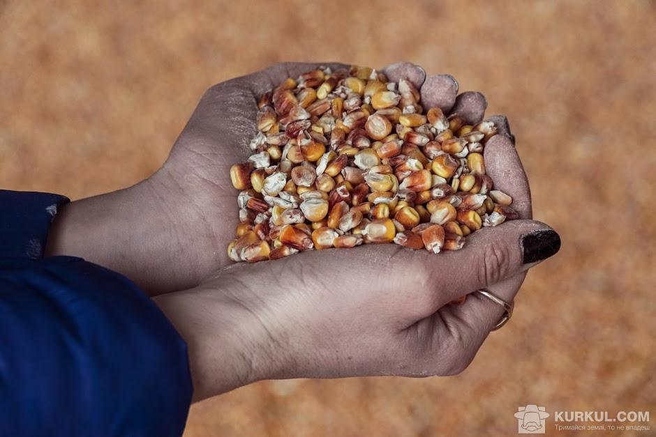 Зерно кукурудзи