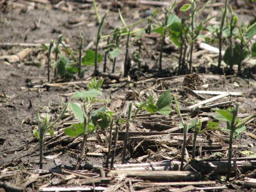 Побиті й обірвані градом листки сої на етапі вегетації. Фото: Марк Ліхт, crops.extension.iastate.edu