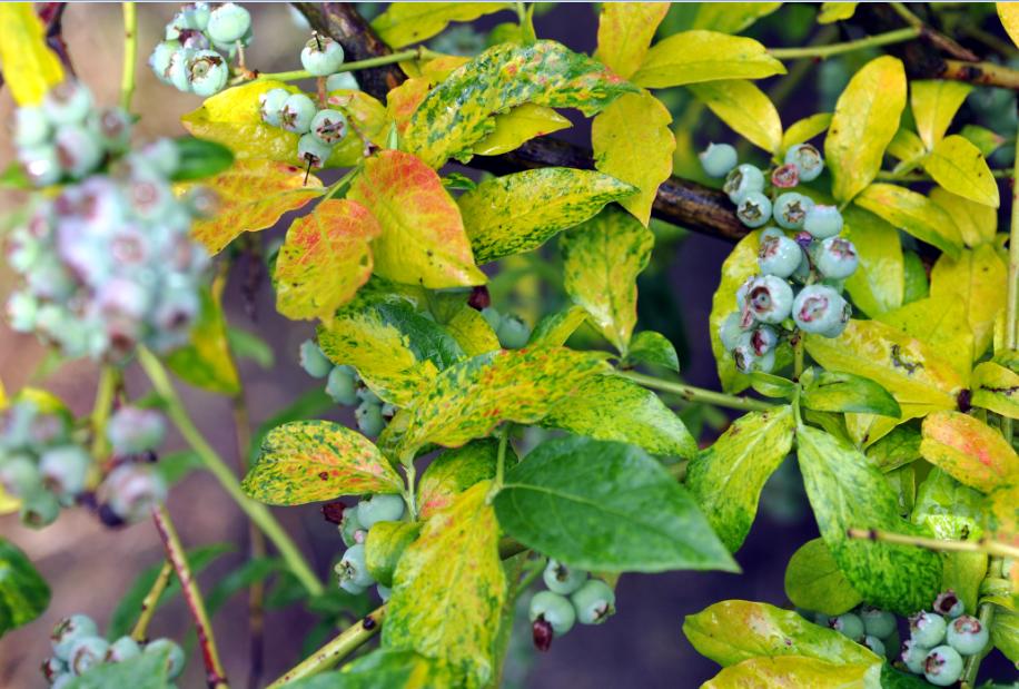 Червона плямистість листків лохини