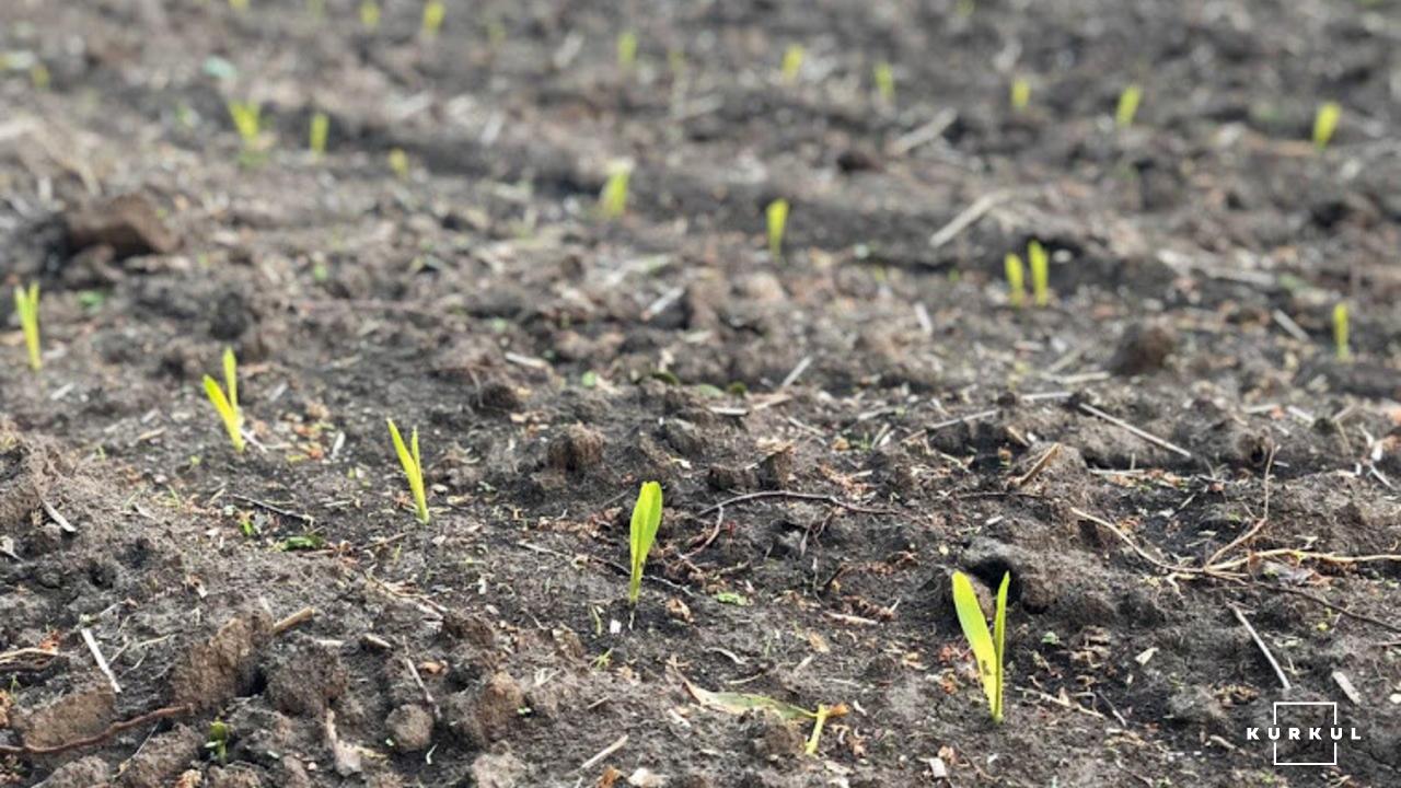 Кукурудза на силос від А до Я: усе про гібриди та технологію фото 15 LNZ Group