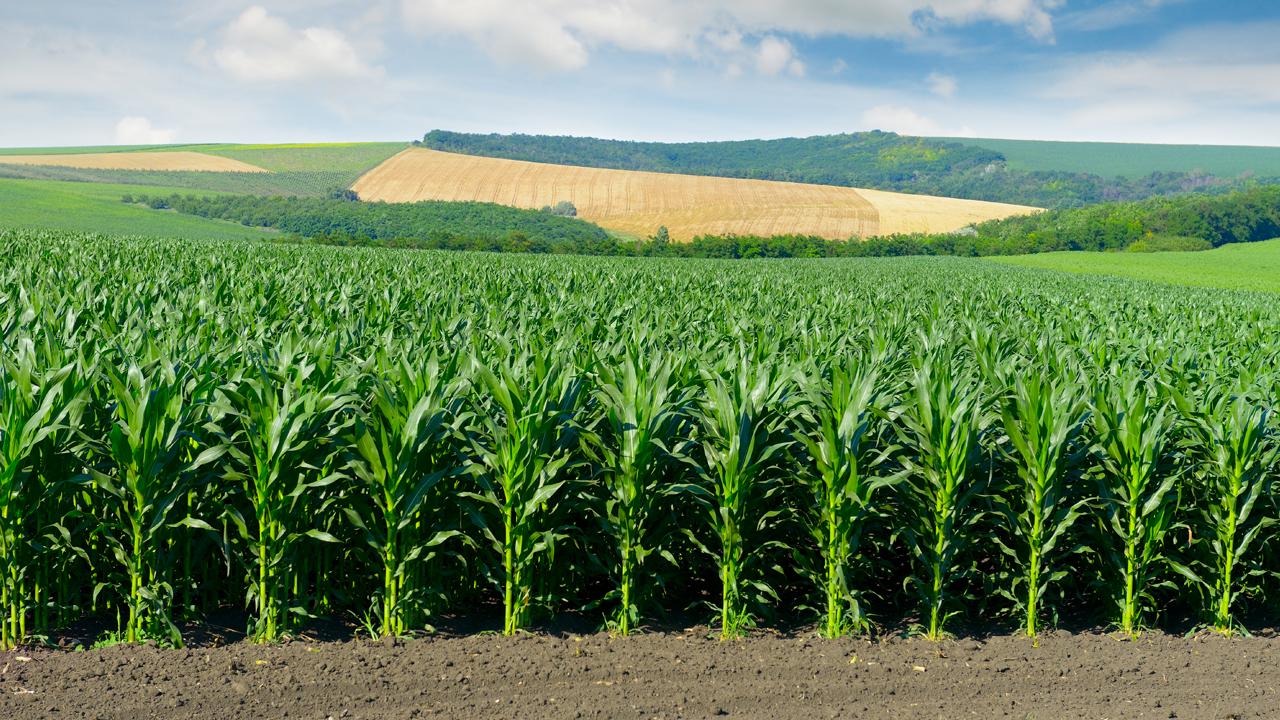 Кукурудза на силос від А до Я: усе про гібриди та технологію фото 6 LNZ Group