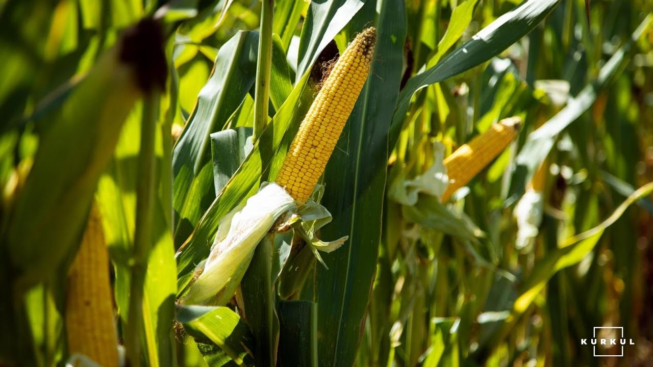 Як вибрати силосний гібрид кукурудзи та гербіцидний захист— приклад ФГ «Тетяна 2011» фото 4 LNZ Group