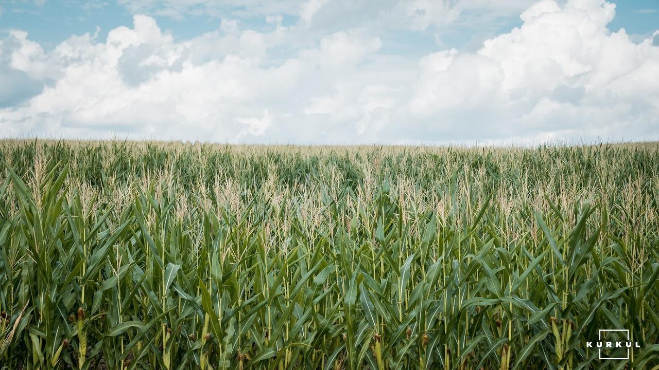 Кукурудза на силос від А до Я: усе про гібриди та технологію фото 16 LNZ Group