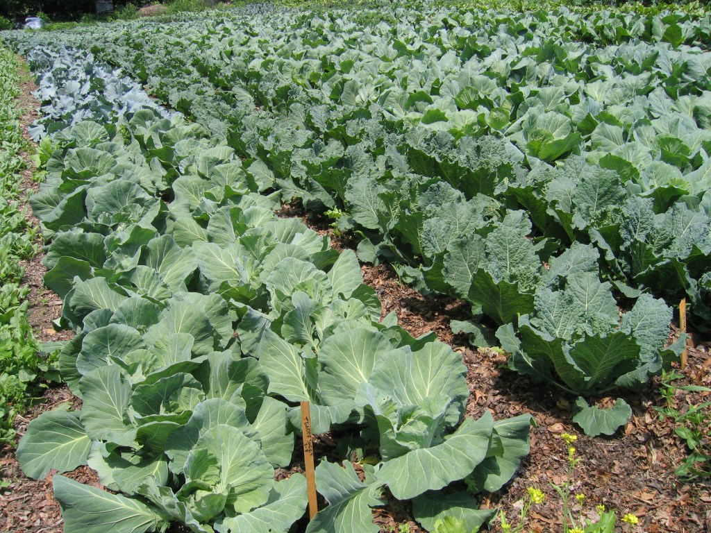 Здорова рання капуста на фермі Tabacco Road