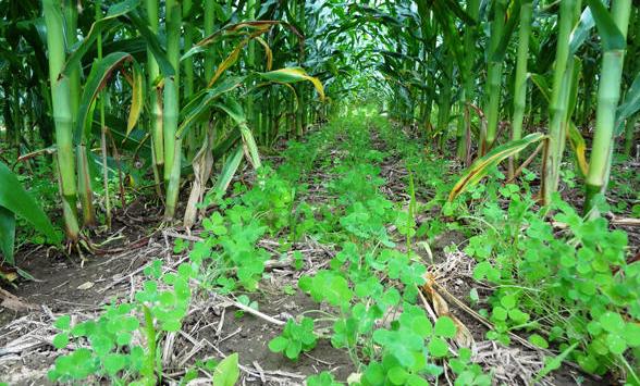 Сівба покривних культур підсівом у кукурудзу
