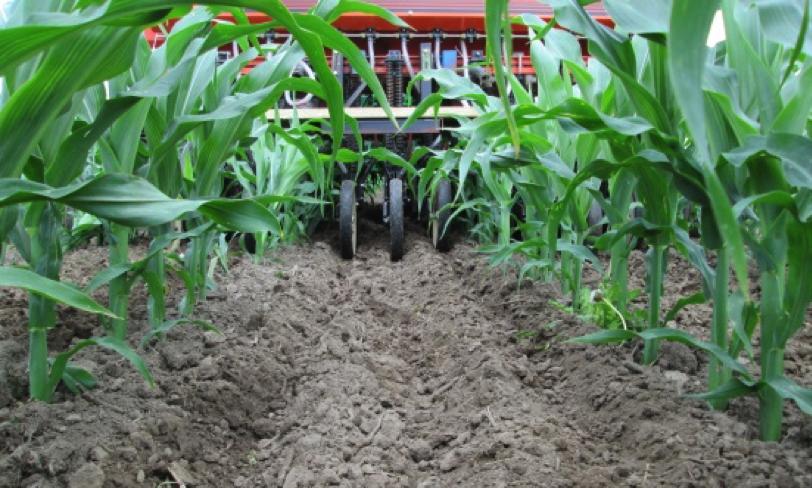 Університет Вісконсіна. Вивчення сівби покривної культури в посів кукурудзи на стадії V5.